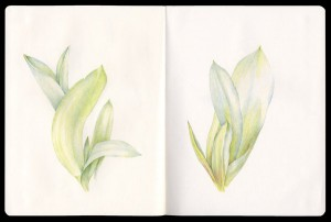 Tulip Leaves Colored Pencil Drawing