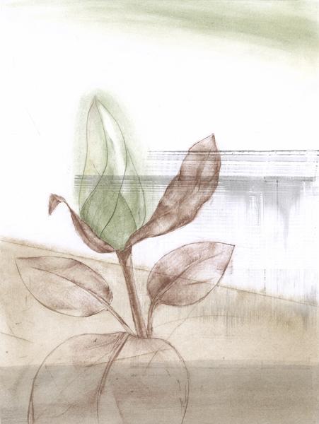 Magnolia Botanical Drawing