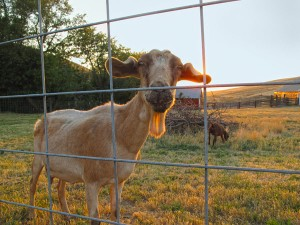 Goats_Are_Funny