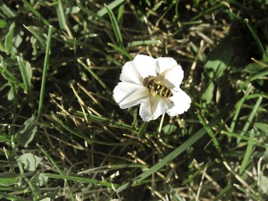 The_Bee_In_The_White_Flower