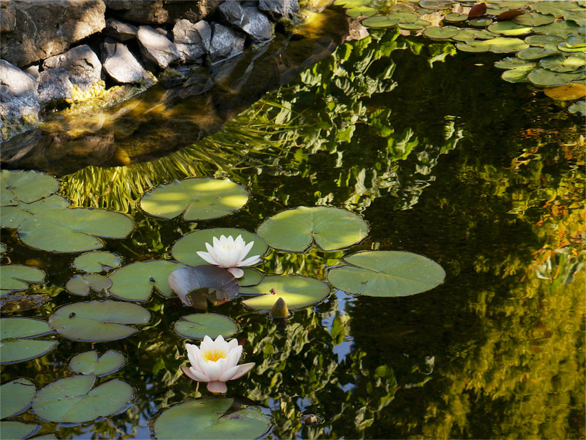 Pond With Two Lillies