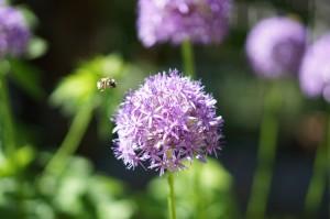 Allium and Bee