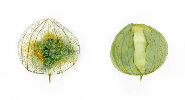 tomatillo watercolor by Iskra