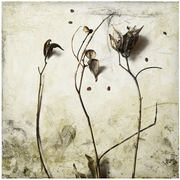 Milkweed-botanical-print-iskra