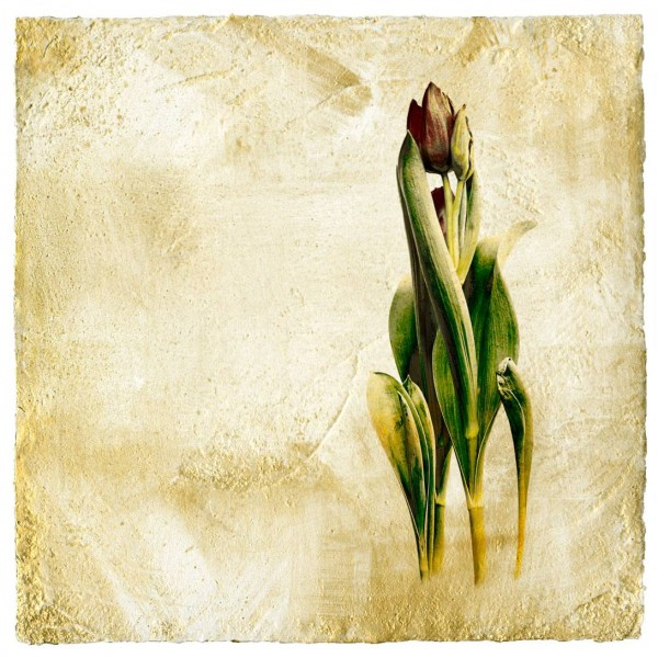 Tulips in Wind and Light-Iskra Fine Art.