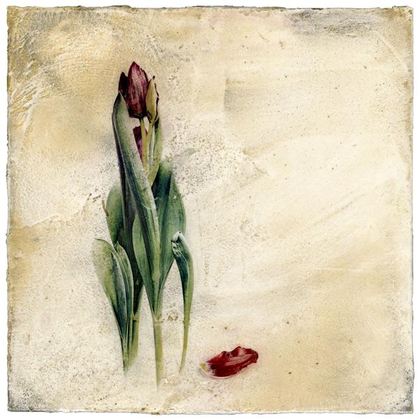 June Tulip on Venetian plasterIskra