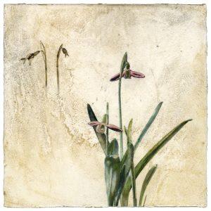 Snowdrop flower on Venetian plaster by Iskra