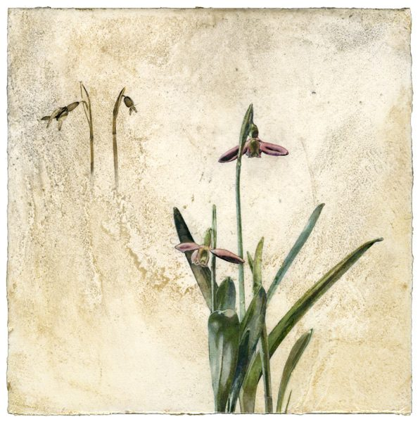 Snowdrop flower on Venetian plaster by Iskra