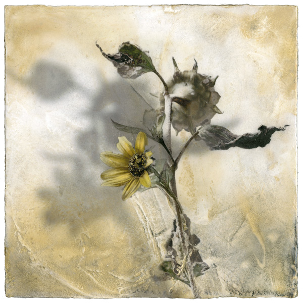 The Sunflower Venetian plaster Iskra