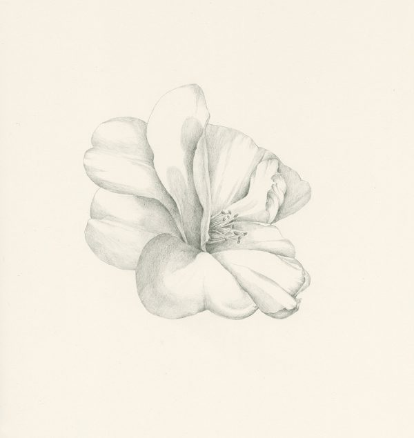 Camelia, ©Iskra Johnson, graphite pencil drawing on paper, $350