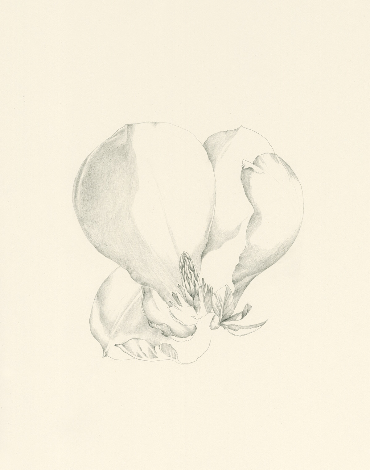 Magnolia Blossom drawing by Iskra