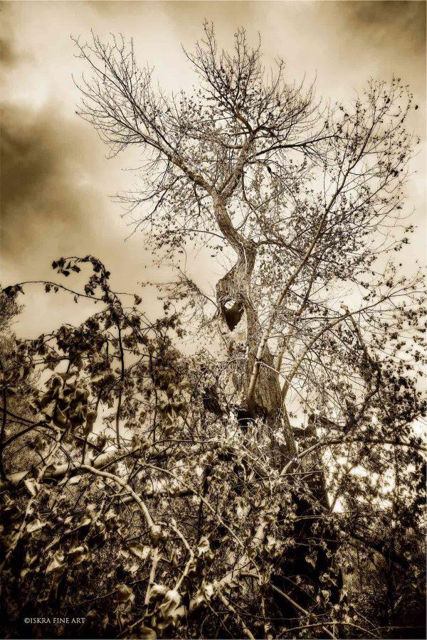 One Tree Portrait Iskra