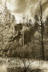 Survivor Tree Portrait photograph by Iskra